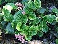 Bergenia crassifolia a1.jpg