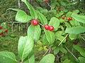 Berries (2747071835).jpg
