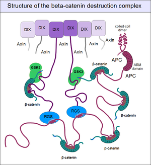 Beta-catenin - Simplified structure of the beta-catenin destruction complex. Note the high proportion of intrinsically disordered segments in the axin and APC proteins.