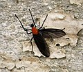 Bibionidae? (48890195466).jpg