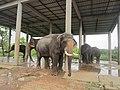 Big Elephants in বঙ্গবন্ধু শেখ মুজিব সাফারি পার্ক.jpg