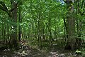 Big Thicket NP, Woodlands Trail (11A) Polk Co. TX; 12 May 2020.jpg