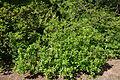 Biltia vaseyi (Rhododendron vaseyi) - Arnold Arboretum - DSC06675.JPG