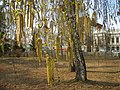 Birch in the garden of Letskoy-Берёза в Лецком саду - panoramio.jpg
