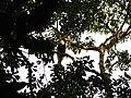 Bird Great Hornbill Buceros bicornis IMG 8659 25.jpg