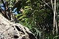Black-Spiny tail iguana (24356298430).jpg