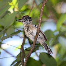 Black-crested Antshrike female.jpg