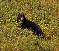 Black Bear 2 (8001737562).jpg