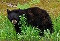 Black Bear Yearling.JPG
