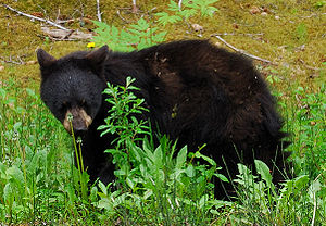 Picture of a black bear yearling at Glacier Ba...