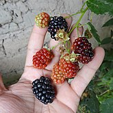Black Berry in Different Colours.jpg