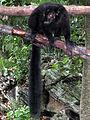 Black Lemur - 4250723657.jpg