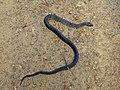 Black Tiger Snake - Flickr - GregTheBusker.jpg