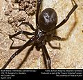 Black Widow (Theridiidae, Latrodectus spp.) (25790526264).jpg