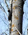 Black Woodpecker, Frobol, Varmland, Sweden 1.jpg