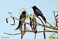 Black drongos - ആനറാഞ്ചി പക്ഷി (13033340693).jpg