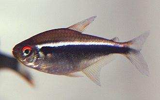 Tetra - Black neon tetra, Hyphessobrycon herbertaxelrodi