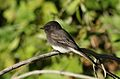 Black phoebe, Sayornis nigricans, along the Guadalupe River in Santa Clara, California, USA (30955987335).jpg