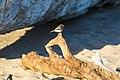 Black phoebe (37757756824).jpg