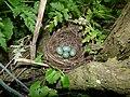 Blackbird Nest 06-05-11 (5694182743).jpg