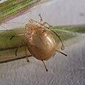 Blattlaus Aphidoidea 8306.jpg