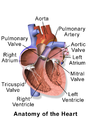 Blausen 0462 HeartAnatomy.png