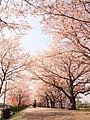 Blossom road (39341222850).jpg