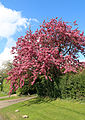Blossoming tree looking north on Downhall Road at Matching Green, Essex, England.jpg