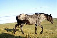 Blue-Moon-Roan-Nokota-Stallion.jpg