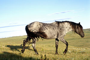 Nokota horse - A blue roan stallion