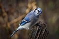 Blue Jay IMG 7928.jpg