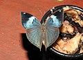 Blue Oakleaf by Dr. Raju Kasambe DSCN6735 (3).jpg