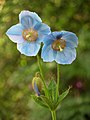 Blue Poppy Meconopsis sp Flowers 2448px.jpg