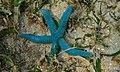 Blue Starfish (Linckia laevigata) (6056166224).jpg