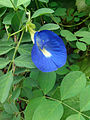 Blue coloured flower (2).jpg