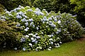 Blue hydrangea in the Woodland Garden at Goodnestone Park Kent England.jpg