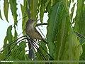 Blyth's Reed Warbler (Acrocephalus dumetorum) (44668480574).jpg