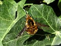 Bombylius major (Bombyliidae) - (imago), Arnhem, the Netherlands.jpg
