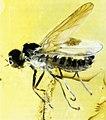 Bonn zoological bulletin - Ragas ulrichi (male) in amber.jpg