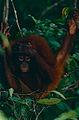 Bornean Orangutan (Pongo pygmaeus) (14585882925).jpg