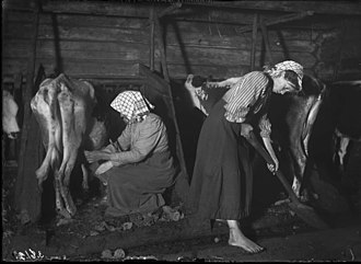 Dairy cattle - Dairy cattle in Mangskog, Sweden, 1911.