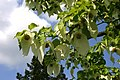BotGartenMuenster Taschentuchbaum 6660.jpg