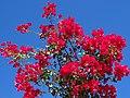 Bougainvillea - Mulege - Baja California Sur - Mexico (23985449036).jpg