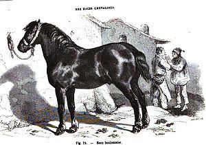 Boulonnais horse - Engraving of a Boulonnais, 1861