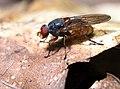 Brachyopa scutellaris, Parc de Woluwé, Bruxelles (43325701224).jpg