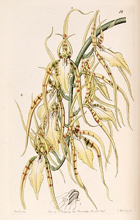 Brassia cochleata (as Brassia lawrenceana) - Edwards vol 27 (NS 4) pl 18 (1841).jpg
