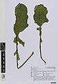 Brassica . oleracea L. (AM AK360625-1).jpg
