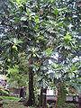 Breadfruit - Artocarpus altilis.jpg