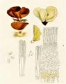 Bresadola - Otidea onotica 1.png
