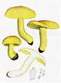 Bresadola - Tricholoma equestre.png